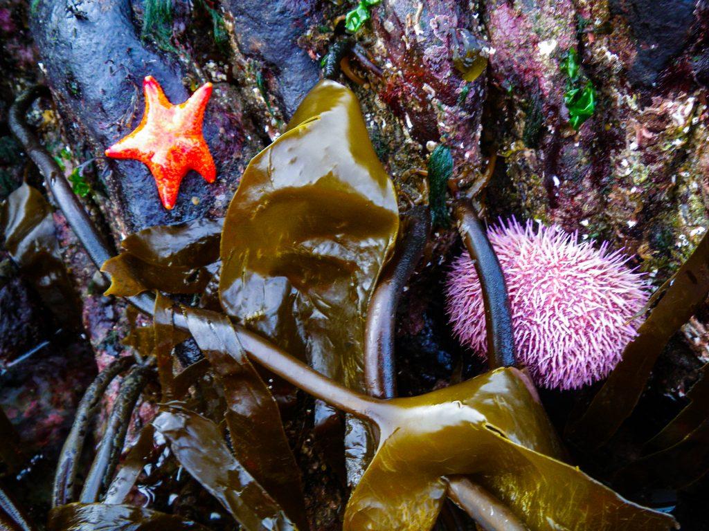 Starfish, Sea Urchin and Seaweed in Torridon